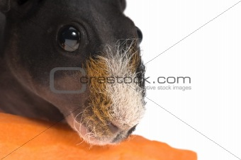 skinny guinea pig with carrot on white background