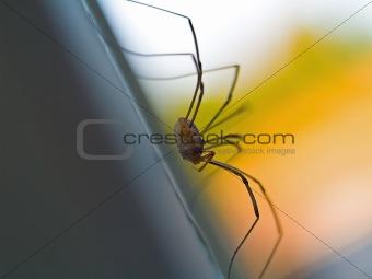 Daddy Longleg Spider