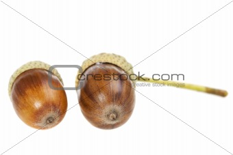acorn nuts isolated on a clear white background