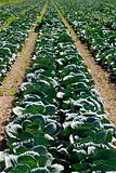 Large cabbage field