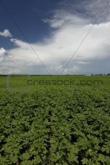 Three month old okra field