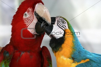 Playful macaws