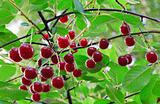 twig of cherry-tree with red cherries