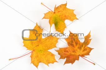 three beautiful yellow leaves from autumn forest