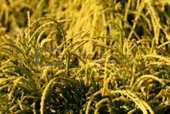 A  golden Chamaecyparis pisifera aurea falsecypress