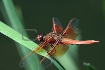 California Dragon Fly