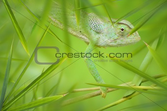 Chameleon in a Green Bamboo Thicket