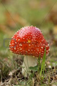 Toadstool or fly agaric mushroom