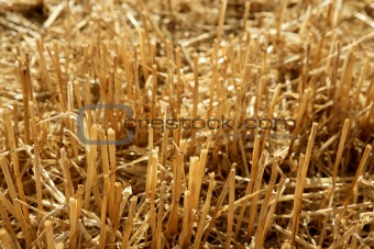 Cutted wheat field soil plant detail