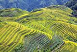 Longshen Rice Fields III