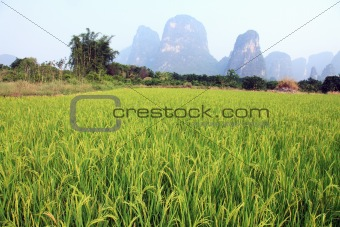 Lush Field of Rice