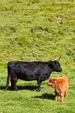 highland cow and calf 2