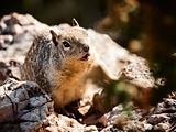 Squirrel in Grand Canyon National Park