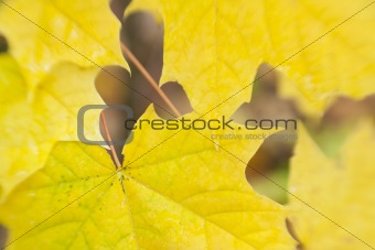 autumn leaves background / used  soft focus lens