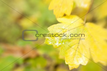 autumn leaves background / used special soft focus lens