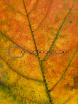 Close up on a autumn leaf