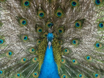 1. peacock    2. peafowl