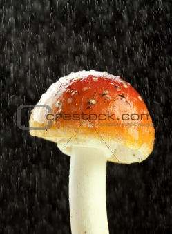 Amanita muscaria in the rain