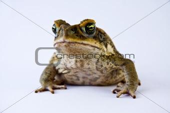 Cane toad (Bufos marinus)