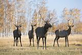 Male deer group