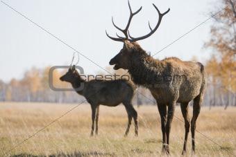 Pair of deer, focus on first one
