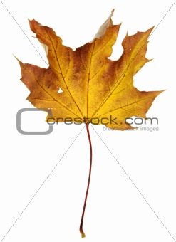 Crumpled Orange Maple Leaf