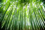 Bamboo forest 03