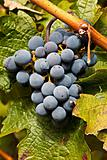 Port Wine Grapes