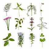 Herb  Leaf Variety