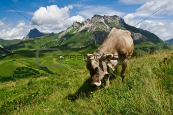 Alpine cow eating on green meadow