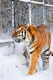 Siberian tiger in zoo