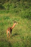 Gazelle eating