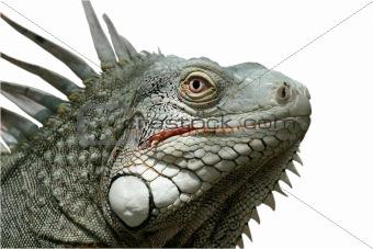 Iguana (Isolated)