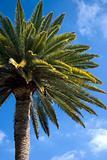Canarian Palm 2