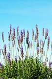 Bush of lavender with blue sky in background