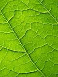 Leaf texure