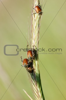 Bugs on a blade of grass