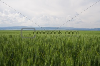 Green Grain Field