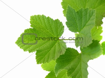 branch with red currant leafs