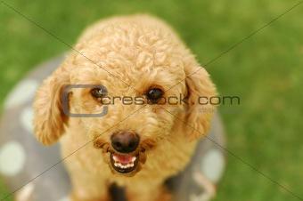 A happy poodle