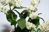 Cetonia on flower
