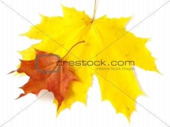 pair of maple leaves