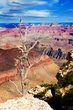 Dead tree at the rim of the Grand Canyon