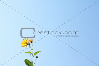 Blue background with wild yellow flower