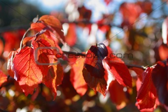 Beautiful autumnal leaves