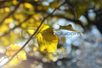 Beautiful yellow autumnal leaves