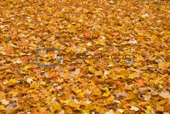 Red yellow colored fall leaves on the ground