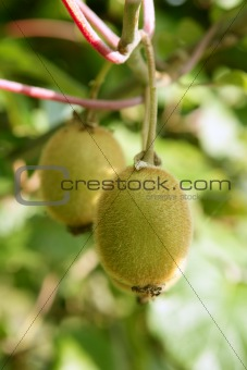 Kiwi fruits in the tree macro detail