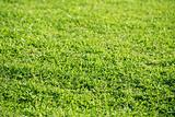 Green grass texture macro selective focus