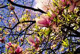 Pink magnolia blossoms in the spring